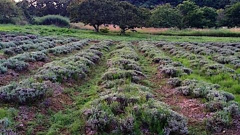 20140714草刈り後のラベンダー畑2