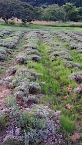 20140714ラベンダーの畑1