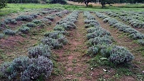 20140714草刈り後のラベンダー畑4