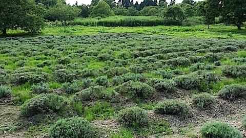 20140715草刈り前のラベンダー畑2