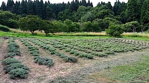 20140715草刈り後のラベンダー畑1