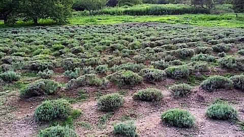 20140715草刈り後のラベンダー畑3