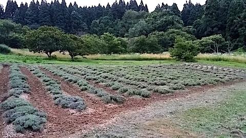 20140715耕した後のラベンダー畑2