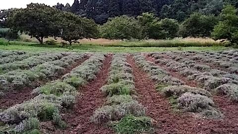 20140715耕した後のラベンダー畑4