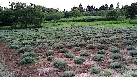 20140715耕した後のラベンダー畑5