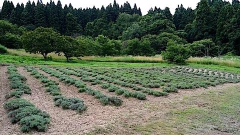 20140717ラベンダーの畑1