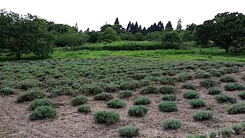 20140717ラベンダーの畑2