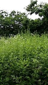 20140717草刈り前9