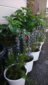 20140910ローズマリーの鉢植え1