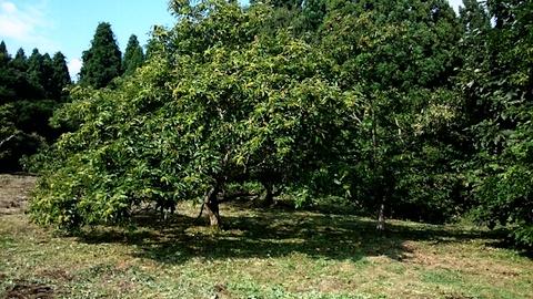 20140910栗の畑
