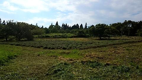 20140910ラベンダー畑の様子2