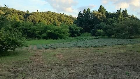 20140911ラベンダーの畑2