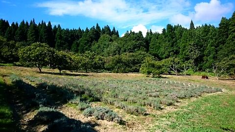 20140913ラベンダー畑の様子