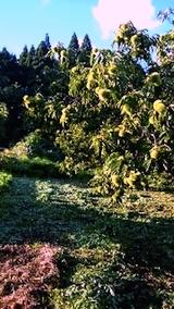 20140913栗畑の草刈り後1