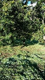 20140913栗畑の草刈り後3