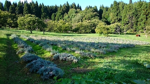 20141007ラベンダー畑の様子