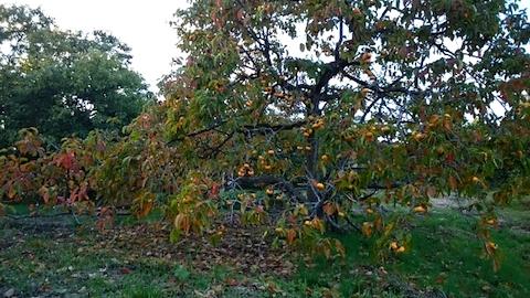 20141007柿の木1