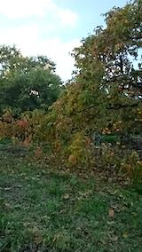 20141007柿の木2