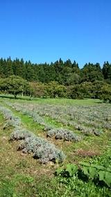 20141008ラベンダーの畑