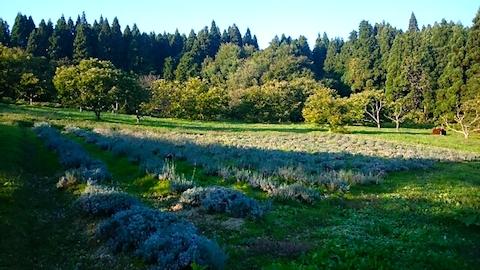20141009ラベンダー畑の様子