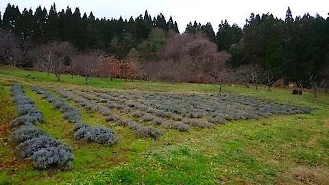 20141202ラベンダー畑の様子
