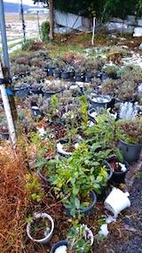 20141204鉢植えのラベンダー