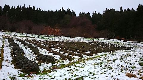 20141204ラベンダー畑の様子