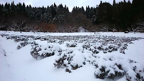 20141206ラベンダー畑の様子2
