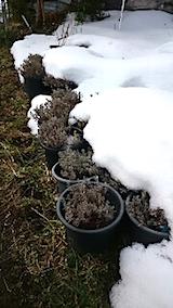 20150126ラベンダーの鉢植え