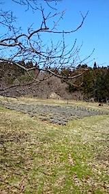 20150317ラベンダーの畑
