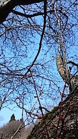 20150317花梅の木1