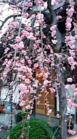 20150414会津の実家枝垂れ梅1