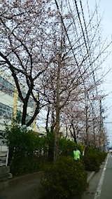 20150413山へ向かう途中の様子小学校前の桜1