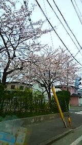 20150413山へ向かう途中の様子小学校前の桜2