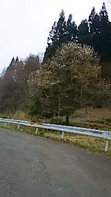 20150413山へ向かう途中の様子峠道コブシの花
