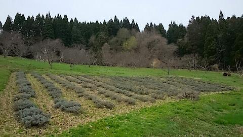 20150413ラベンダー畑の様子