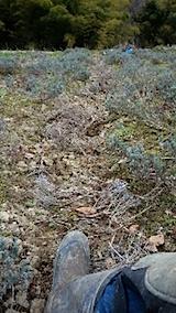 20150413ラベンダー畑の草取りと傷んだ枝の刈り取り作業1