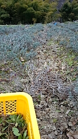 20150413ラベンダー畑の草取りと傷んだ枝の刈り取り作業3