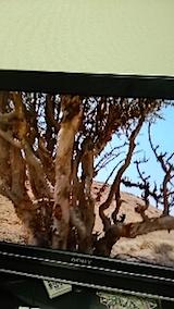 20150414乳香の木