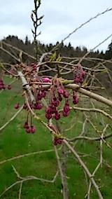 20150414八重紅枝垂れ桜の花芽