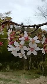 20150414山桜の花