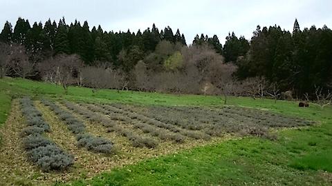 20150414ラベンダー畑の様子