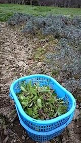 20150414ラベンダー畑の草取りと傷んだ枝の刈り取り作業1