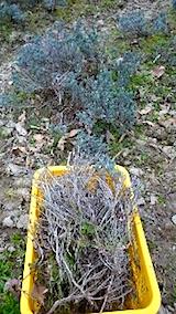 20150414ラベンダー畑の草取りと傷んだ枝の刈り取り作業3