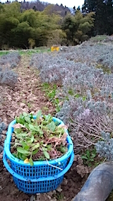 20150414ラベンダー畑の草取りと傷んだ枝の刈り取り作業5