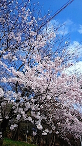20150415一つ森公園の桜4
