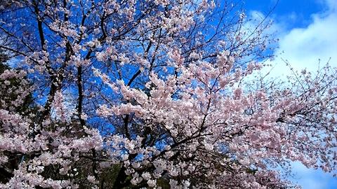 20150415一つ森公園の桜5