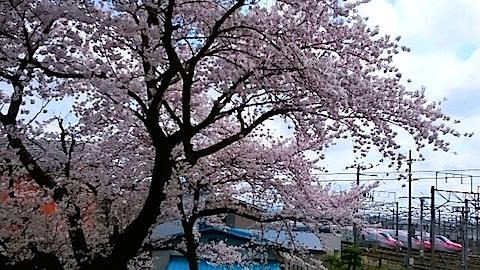 20150415操車場前の桜2