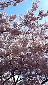 20150415操車場前の桜4