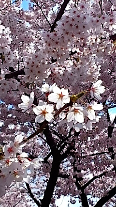 20150415太平川沿いの桜2